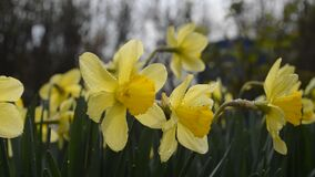 Spring flowering narcissus stock footage