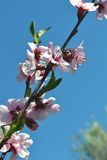 Spring flowering peach. Wonderful, colorful spring and perfumed.Peach flowers have opened in all its splendor to the delightfully blue sky stock photo