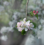 Spring flowering of pear Stock Photo