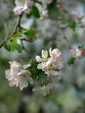 Spring flowering of pear Stock Photos