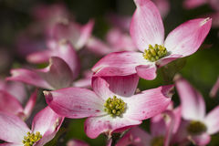 Spring Flowering Pink Dogwood Blooms. This is a gorgeous pink dogwood branch that was backlit by the early morning sun. These are covered with flowers every stock image