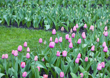 Spring flowering of pink tulips Stock Photo