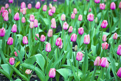 Spring flowering of pink tulips Royalty Free Stock Images
