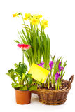 Spring flowering plants. With a blank greeting card, isolated royalty free stock photo