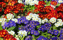 Spring flowering Primroses. Royalty Free Stock Photography