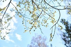 Spring. Flowering willow branch stock photography
