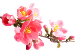 Spring flowering quince Stock Image