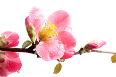 Spring flowering quince Royalty Free Stock Image