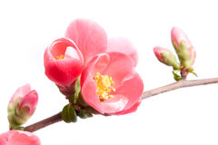 Spring flowering quince Royalty Free Stock Images