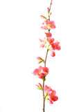 Spring flowering quince Stock Photography