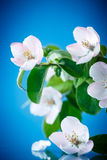 Spring flowering quince tree Stock Images