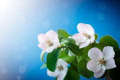 Spring flowering quince tree Royalty Free Stock Photo