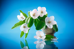 Spring flowering quince tree Royalty Free Stock Photos