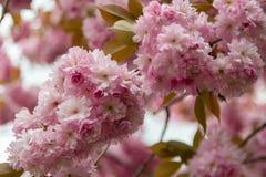Spring flowering sakura Stock Photo