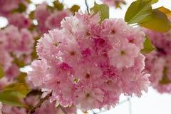 Spring flowering sakura Royalty Free Stock Photography