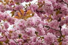Spring flowering sakura Royalty Free Stock Photo
