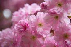 Spring flowering sakura Royalty Free Stock Images