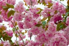 Spring flowering sakura Stock Photos