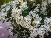 Spring flowering spiraea of the decorative bush royalty free stock images