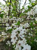 Spring flowering. Blossom royalty free stock photography