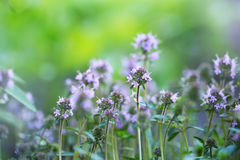 Spring flowering of thyme Royalty Free Stock Photo