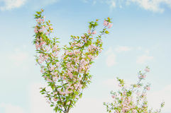 Spring flowering tree against the sky Royalty Free Stock Photography