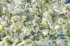 Spring flowering tree. Background of spring flowering tree. white flowers blossom in spring in garden on an apple tree stock images