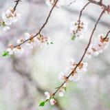 Spring, flowering tree. Beautiful flowering tree in the spring garden Royalty Free Stock Images