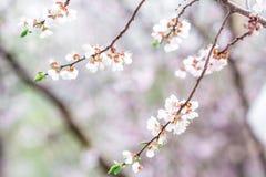Spring, flowering tree. Beautiful flowering tree in the spring garden Stock Images