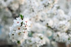 Spring flowering on the tree. Royalty Free Stock Images