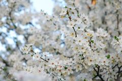 Spring flowering on the tree. Royalty Free Stock Photography