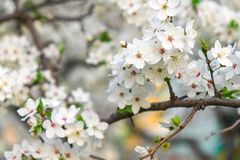 Spring flowering on the tree. Royalty Free Stock Photo