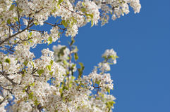 Spring Flowering Tree Blossom Royalty Free Stock Photos