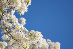 Spring Flowering Tree Blossom Royalty Free Stock Images