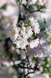 Spring flowering tree blossoms Royalty Free Stock Photos
