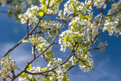 Spring flowering tree. In a blue sky Royalty Free Stock Image