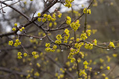 Spring flowering of a tree Royalty Free Stock Image
