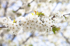 Spring flowering of tree branch. Selective focus Royalty Free Stock Photos