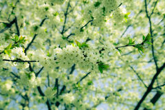 Spring flowering of tree branch. Selective focus. Toned Stock Photos