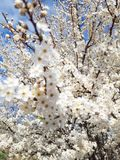 Spring flowering tree on countryside stock image