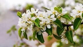 Free Spring Flowering Tree. Pear Branch With Flowers Royalty Free Stock Images - 200066739