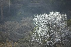 Spring flowering tree with a picturesque view of the village in the mountains. royalty free stock images