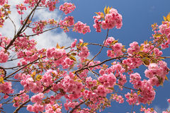 Spring - flowering tree. Flowering pink tree in spring stock images