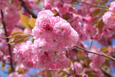 Spring - flowering tree Royalty Free Stock Photography