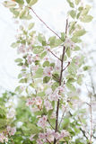 Spring flowering trees bloom pink flowers Stock Photography