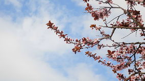 Spring flowering trees blossom with blue sky and clouds in background. Spring flowering trees sky clouds with blue sky and clouds in background stock video