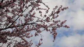 Spring flowering trees blossom with blue sky and clouds in background. Spring flowering trees sky clouds with blue sky and clouds in background stock footage