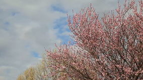Spring flowering trees blossom with blue sky and clouds in background. Spring flowering trees sky clouds with blue sky and clouds in background stock video footage
