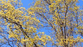 Spring flowering trees Royalty Free Stock Photography