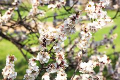 Spring flowering of trees on a bright sunny day stock photography